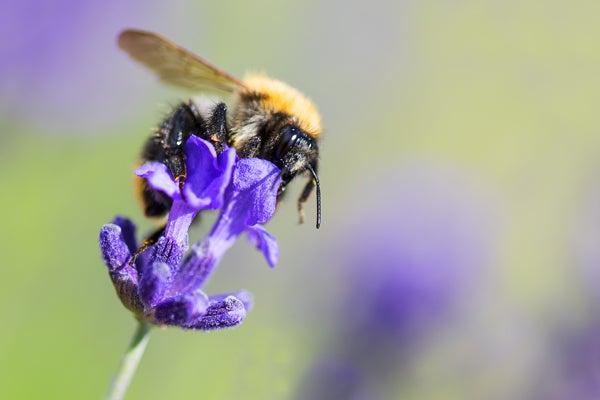 honey bee landing on lavender