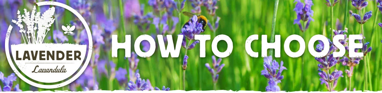 how to choose lavender