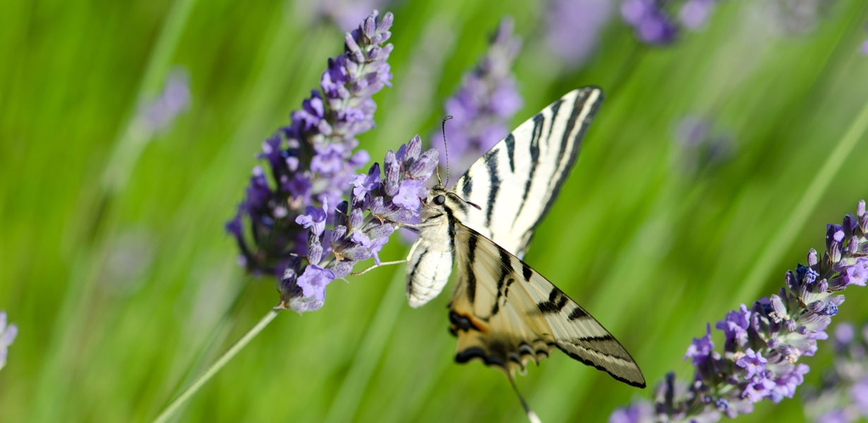 How To Grow Lavender American Meadows