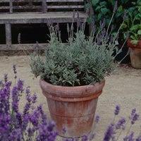goodwin creek grey lavender