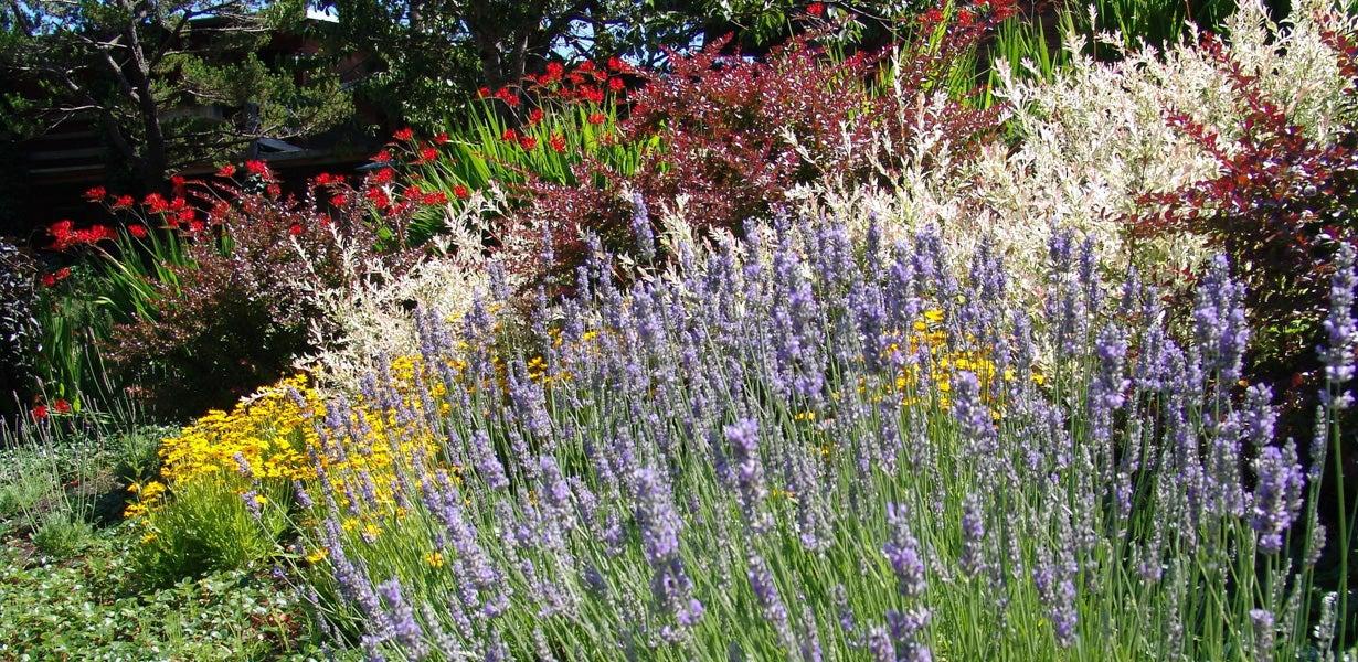 drought tolerant lavender in a garden