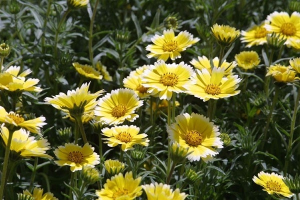 Tidy Tips is a fun western hybrid that is native to California, and provides extended blooms during the summer.