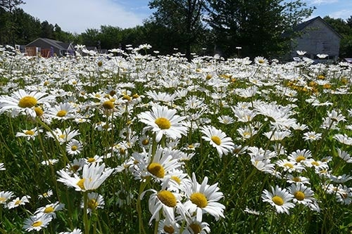 Daisies - Perennial Favorites