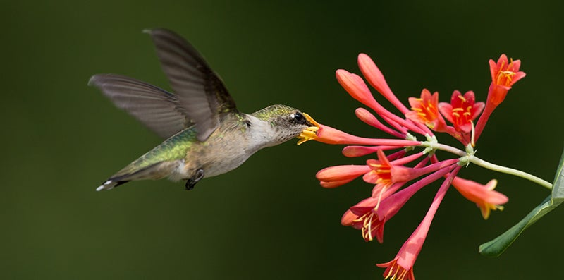 Connie Etter - Lonicera Hummingbird