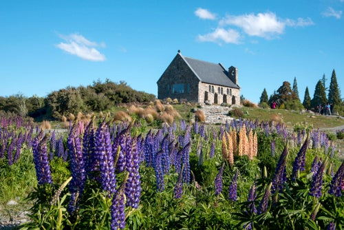 lupine field in front of a house