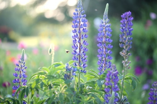 lupine and honeybee Connie Etter