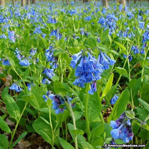Blue meadows of Virginia Bluebells