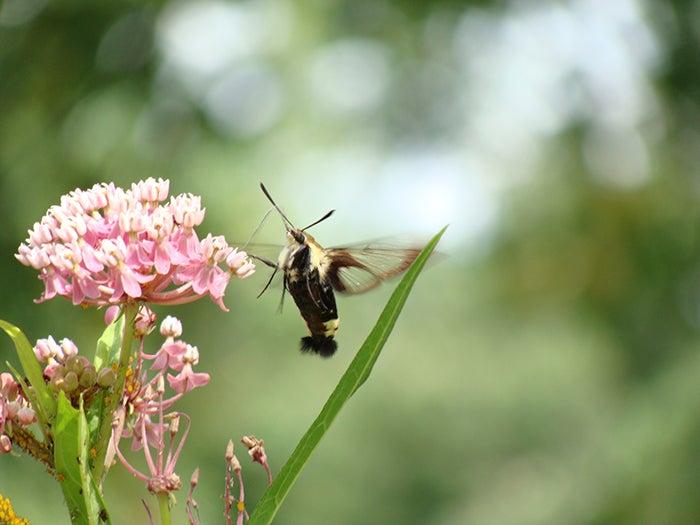 milkweed and moth
