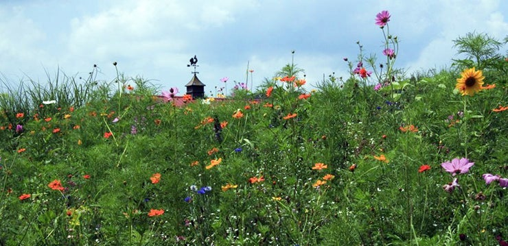 Wildflower Meadow And a Cupola