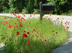 red poppies next to mailbox