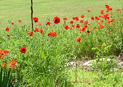 poppies next to lawn