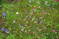 annual wildflower garden