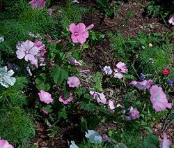 cornflowers and rose mallow in a sidewalk garden