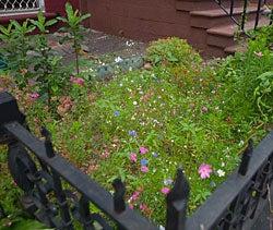 rose mallow scarlet flax and blue cornflower in a sidewalk garden in brooklyn.