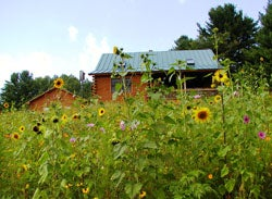 wild sunflowers in front of home