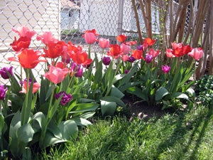 pink tulips next to a fence