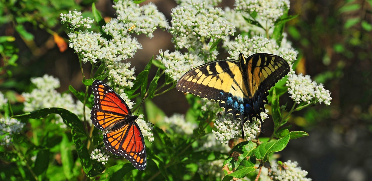 monarch and swallowtail on milkweed