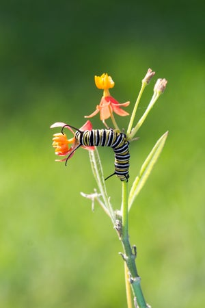 monarch caterpilla on a tropical milkweed