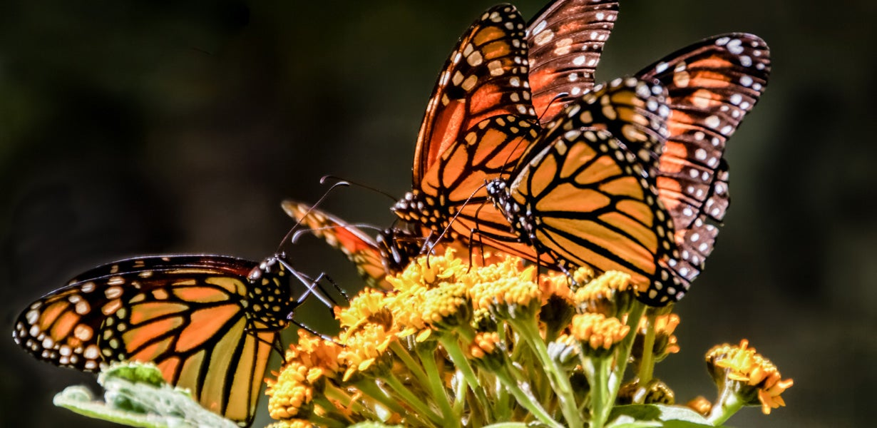 two monarchs on butterfly weed