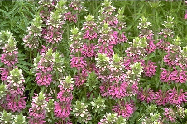 Lemon Mint, which smells of both lemon and lavender, is a pollinator favorite and blooms from Spring to Summer.