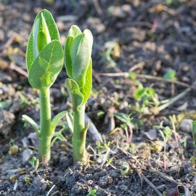 milkweed seedling