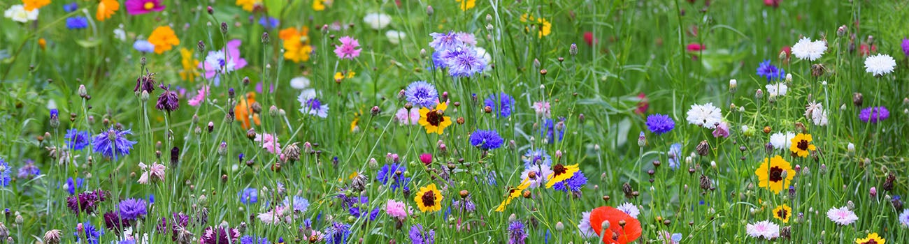 Blue, Purple, and Yellow Wildflower Meadow Mix with blooming coreopsis, red poppies, and multi-colored bachelor buttons.