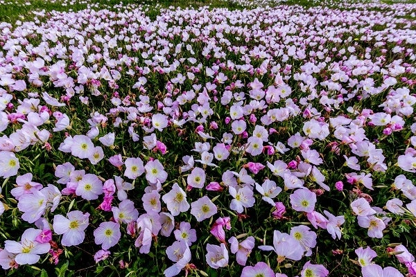 Showy Evening Primrose is a lovely pastel pink primrose that is perfect for dry areas.
