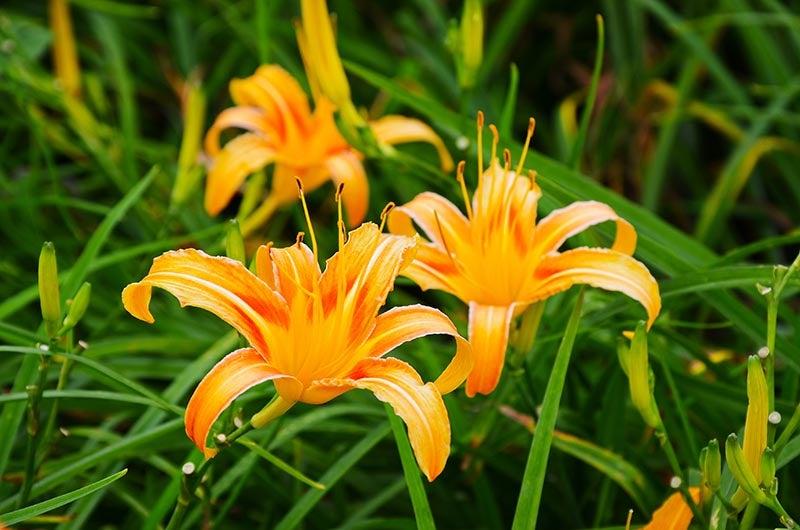 Original Orange Daylily