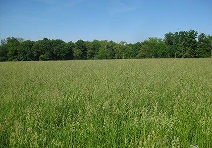 Orchard Grass