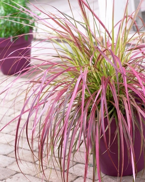 variegated purple fountain grass