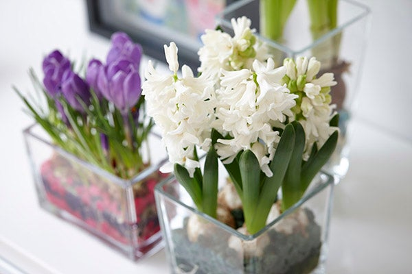 paperwhites indoor forcing