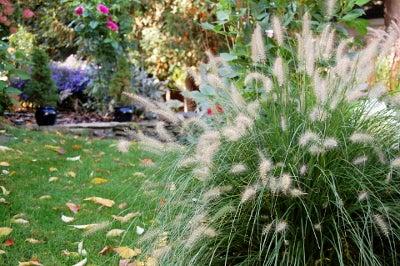 fountain grasses