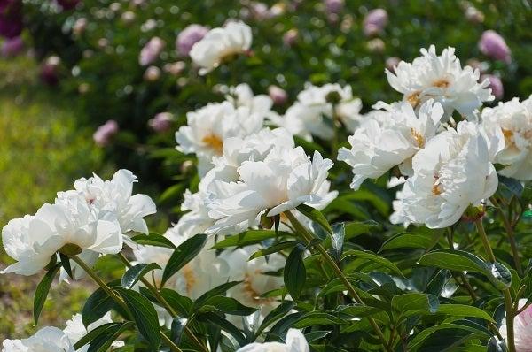 white peonies in a garden