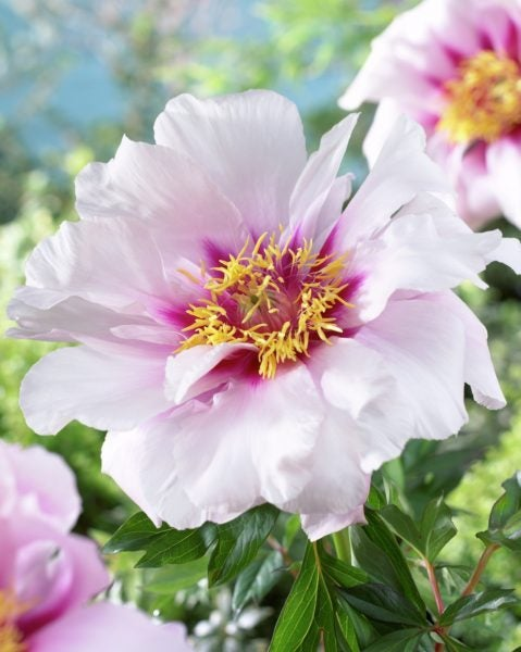 'Cora Louise' Itoh Peony