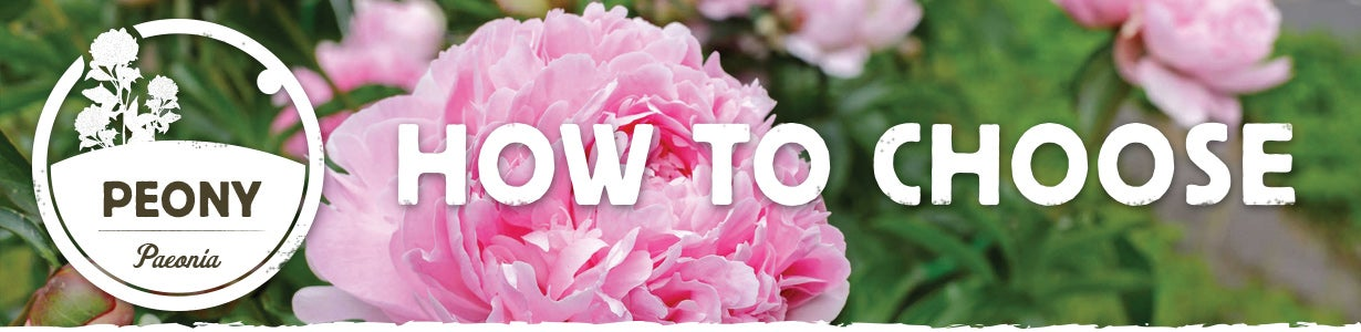 how to choose the best peonies