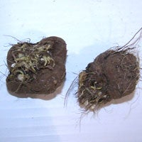 liatris bulb and root