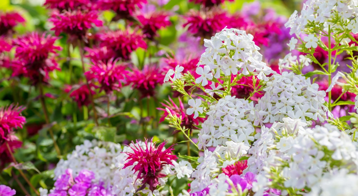 pink phlox and white bee balm