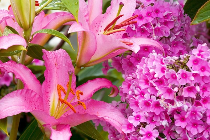 pink phlox with pink lilies