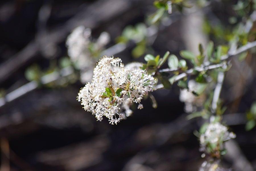 Buckbrush (Ceanothus cuneatus)