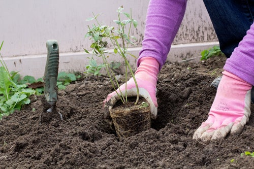 Planting Aster in the Garden