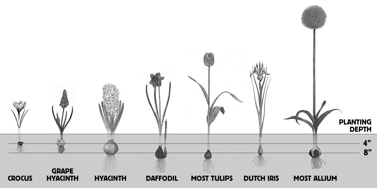 Recommended planting depths for Fall-Planted Bulbs