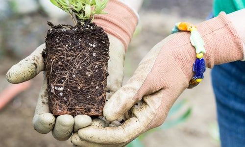 Always start with healthy plants that have developed root systems.