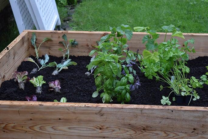 Assorted veggies growing in raised bed