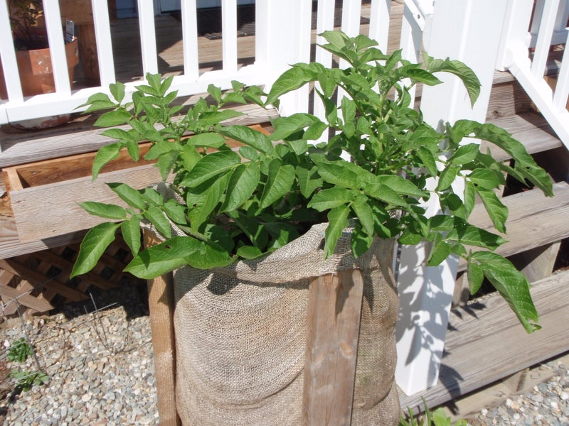 potato plants growing in a bag