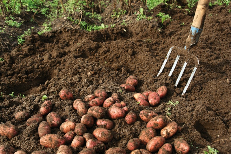 harvesting potatoes with a pitchfork