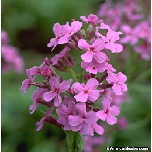 Pink blooming Dame's Rocket Wildflowers