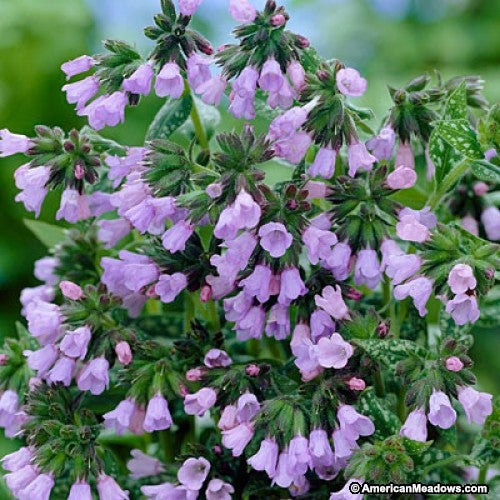 Pink blooming Roy Davidson Lungwort
