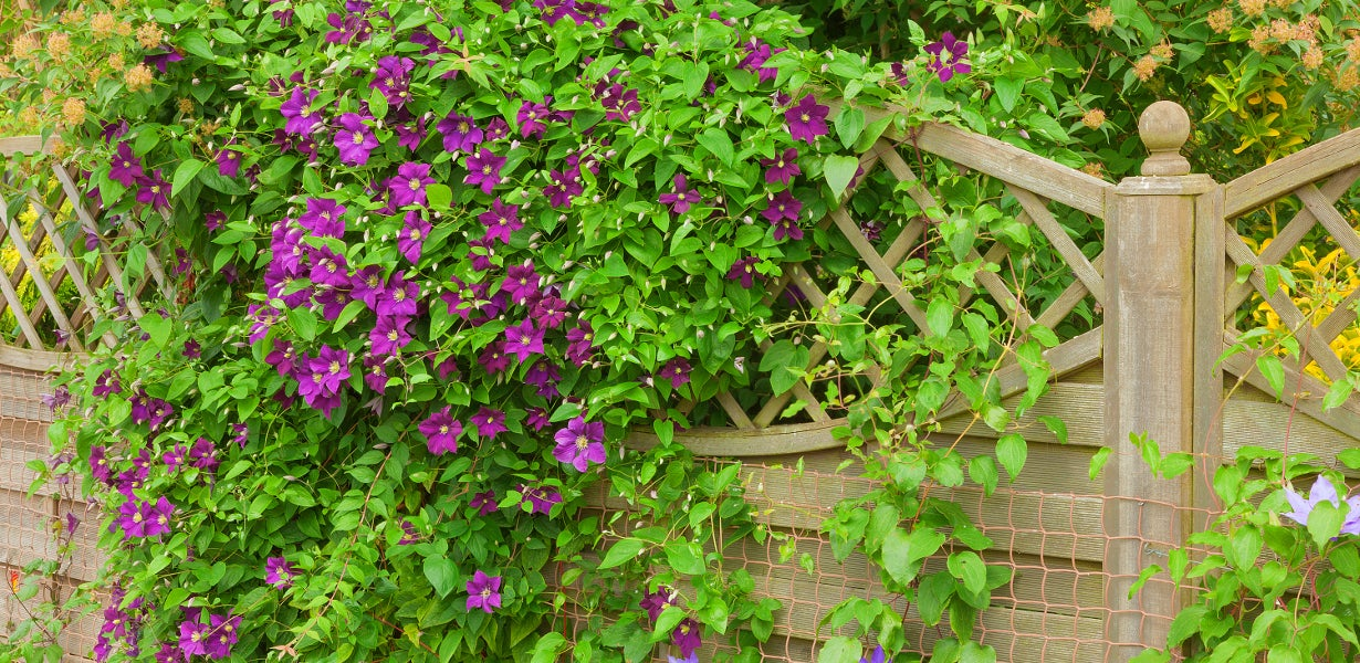 Purple clematis blooming over fence