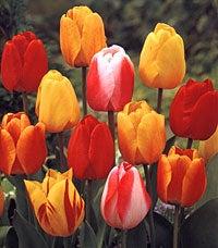 Darwin Tulip Mix