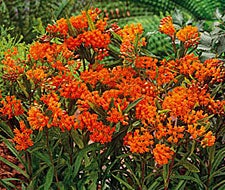 Orange Butterfly Weed or Milkweed is another Pollinator Favorite